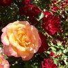 rosieblooms
